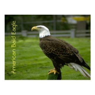 Cartão Postal Águia americana americana