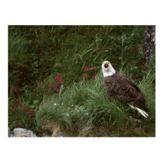 Cartão Postal Águia americana dos EUA, Alaska, ilha de Unalaska