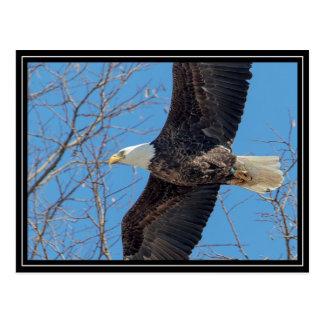 Cartão Postal Águia americana em vôo