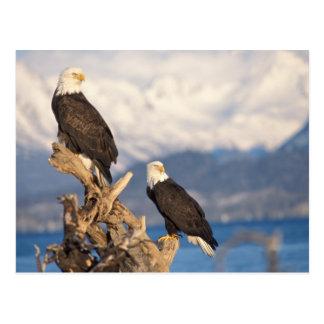 Cartão Postal águia americana, leuccocephalus do Haliaeetus, par