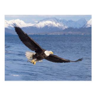 Cartão Postal águia americana, leucocephalus do Haliaeetus, em