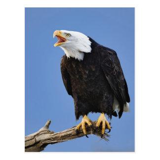 Cartão Postal Águia americana que chama, local, Alaska,
