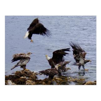 Cartão Postal Águias americanas na praia, ilha de Unalaska