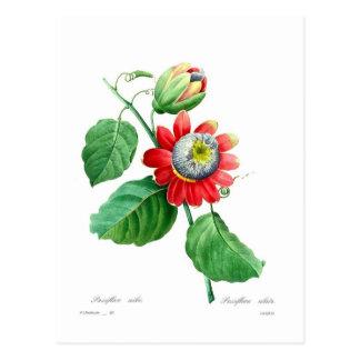 Cartão Postal Alata do Passiflora por Pierre-Joseph Redouté