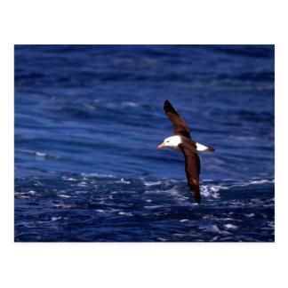 Cartão Postal Albatroz Preto-Sobrancelhudo em vôo