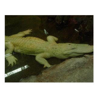 Cartão Postal Albino Croc