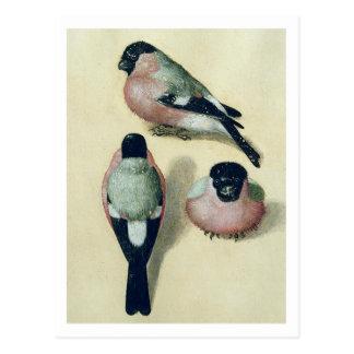 Cartão Postal Albrecht Durer três estudos de um Bullfinch