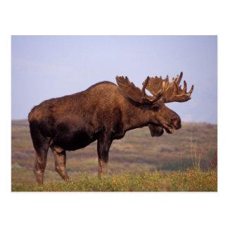 Cartão Postal alces, alces do Alces, touro com grandes antlers