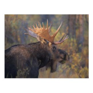 Cartão Postal alces, alces do Alces, touro em Teton grande
