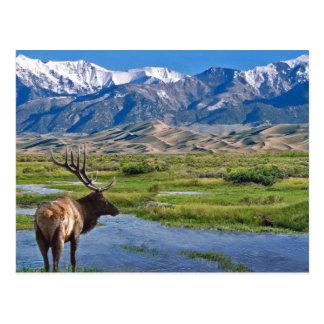 Cartão Postal Alces das montanhas rochosas de Colorado