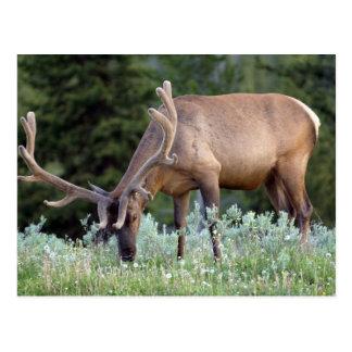 Cartão Postal Alces de Bull com os antlers no veludo que pastam