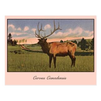 Cartão Postal Alces de Bull no parque de Yellowstone