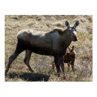 Cartão Postal Alces do Alasca da vaca com vitela