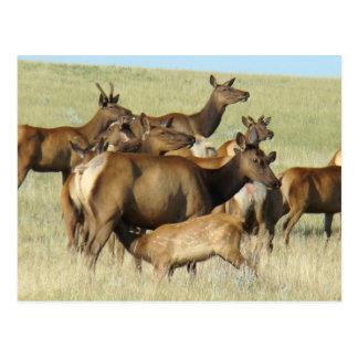 Cartão Postal Alces e vitela da vaca E0007