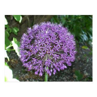Cartão Postal Allium roxo