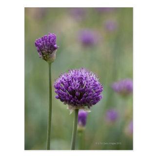 Cartão Postal Alliums roxos com fundo difundido natural