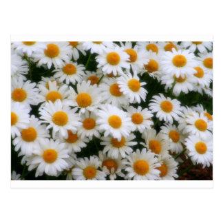 Cartão Postal Amantes da margarida IMG_0066