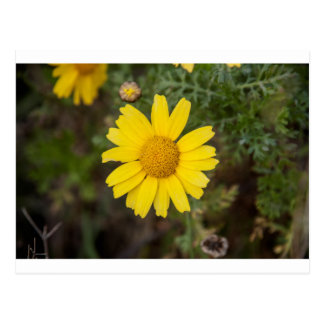Cartão Postal Amarelo do cu da flor da margarida