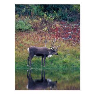 Cartão Postal America do Norte, EUA, Denali NP, caribu