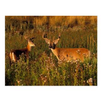 Cartão Postal America do Norte, EUA, Montana, bisonte nacional