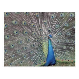 Cartão Postal Ámérica do Sul, Venezuela, indicação do pavão