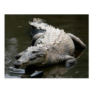 Cartão Postal American crocodile (Crocodylus acutus)