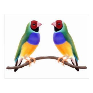 Cartão Postal Amigos do passarinho de Gouldian