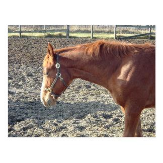 Cartão Postal Amor do cavalo da castanha
