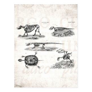 Cartão Postal Anatomia antiga dos esqueletos animais dos 1800s