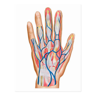 Cartão Postal Anatomia da parte traseira da mão humana