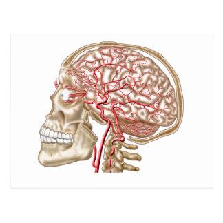 Cartão Postal Anatomia do crânio, do globo ocular e de artérias