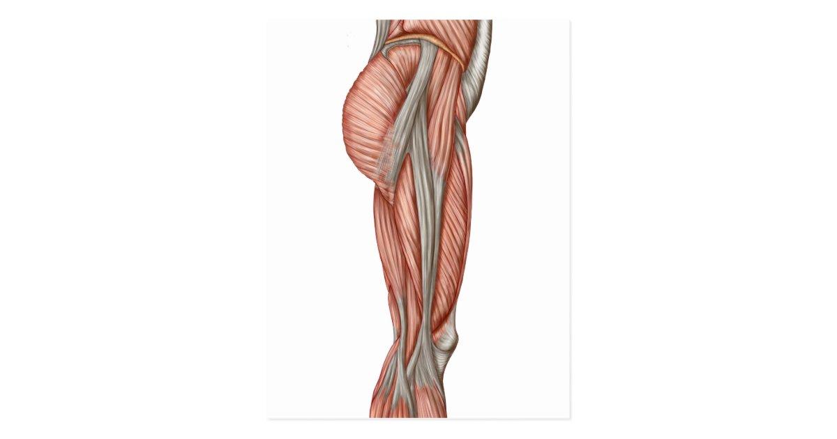 anatomia do músculo da coxa