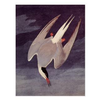 Cartão Postal Andorinha-do-mar ártica por John James Audubon,
