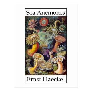 Cartão Postal Anêmonas de mar por Ernst Haeckel