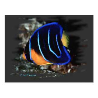 Cartão Postal Angelfish juvenil da rainha