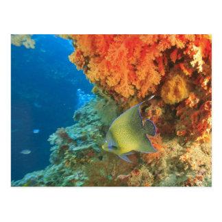 Cartão Postal Angelfish que nada perto do coral macio