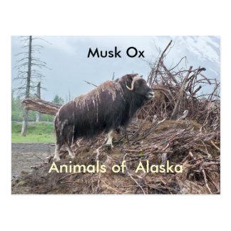 Cartão Postal Animais do boi do Alaska-musk