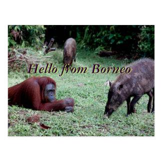 Cartão Postal Animal Bornéu do orangotango