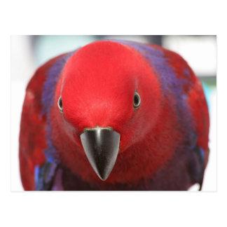 Cartão Postal Animal de estimação fêmea vermelho do papagaio de