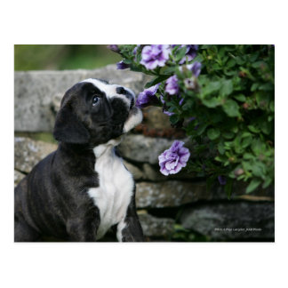 Cartão Postal Ânsia do cão do pugilista