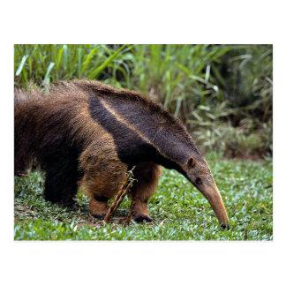 Cartão Postal Anteater gigante (tridactyla do Myrmecophaga)