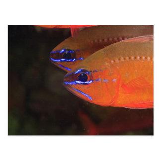 Cartão Postal Apogon Anel-atado) Milne áureo do Cardinalfish