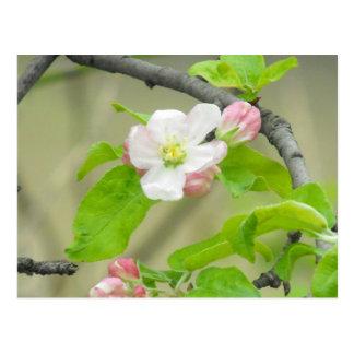 Cartão Postal Apple cor-de-rosa floresce