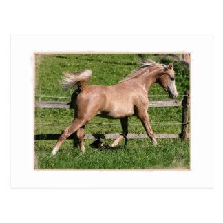 Cartão Postal Arabian do Palomino