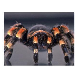 Cartão Postal Aranha assustador do Tarantula