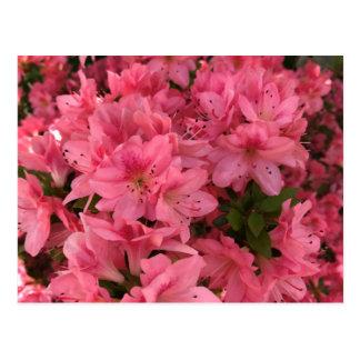 Cartão Postal Arbusto de florescência cor-de-rosa brilhante