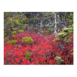 Cartão Postal Arbustos e pinhos de mirtilo