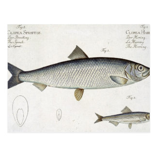 Cartão Postal Arenques (Clupea Harengus) (Fig. 1) e arenque