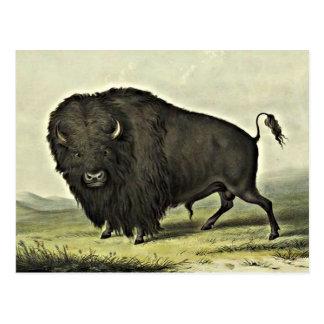 Cartão Postal arte do búfalo