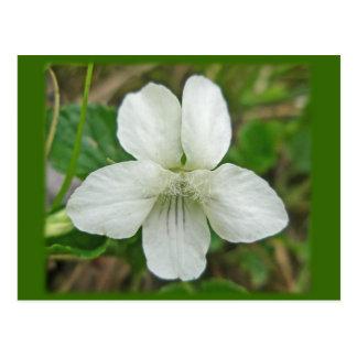 Cartão Postal Artigos de coordenação violetas selvagens brancos